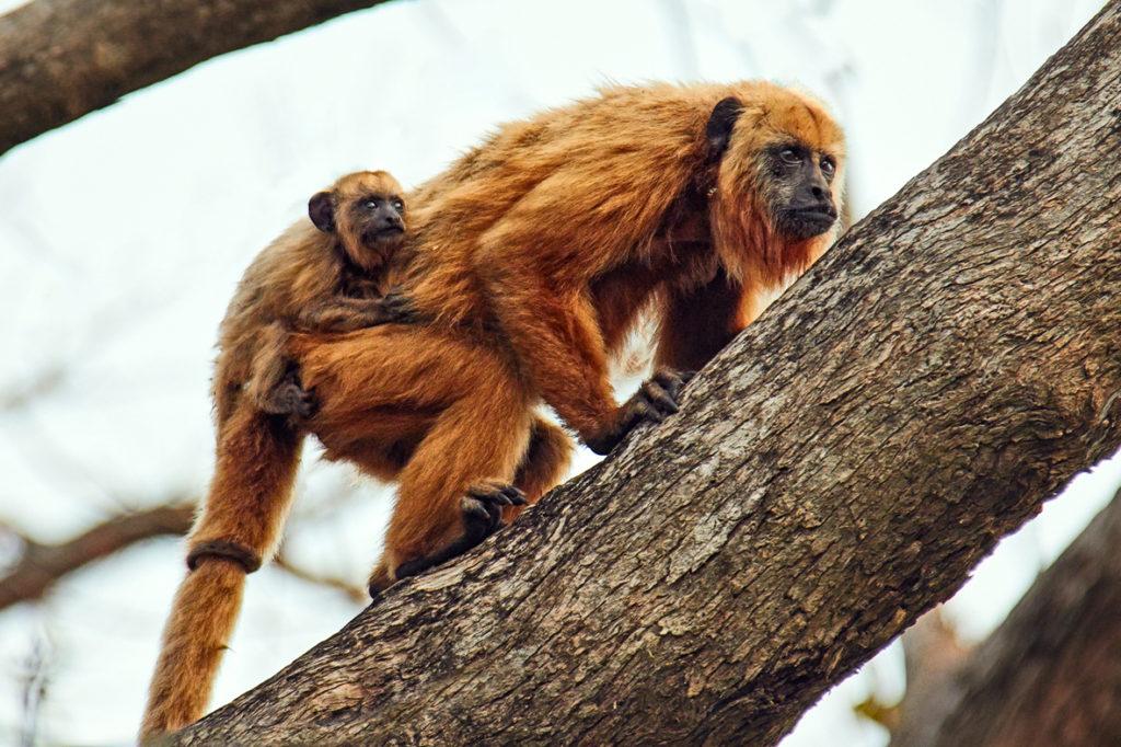 Singes hurleurs (Amazonie brésilienne)