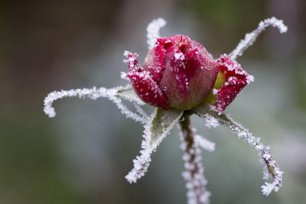 """Prix du jury hiver : """"rose d'hiver"""" Claude Plotton - Ballainvilliers"""