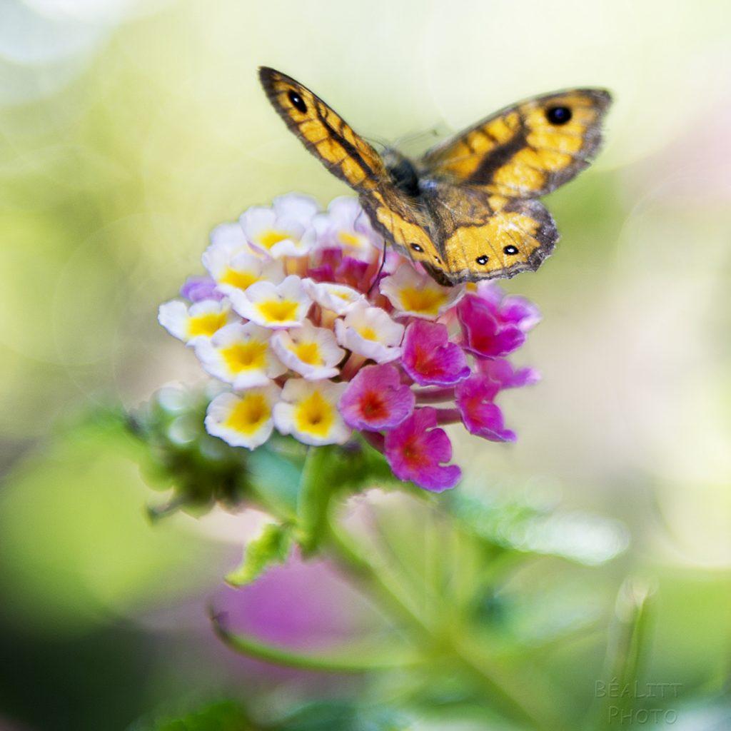 Papillon Corse