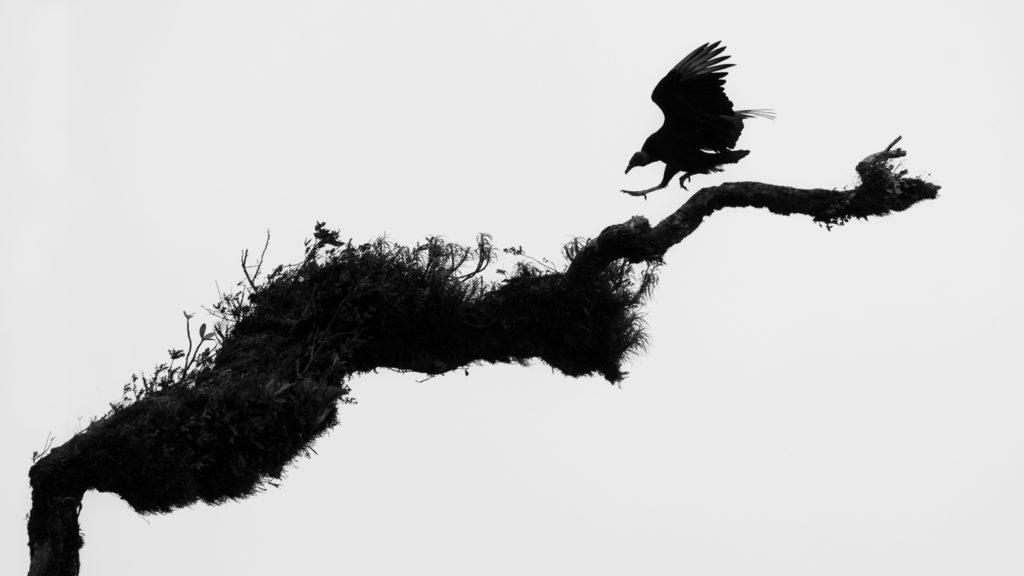2ème prix N&B : « Urubu » de Pierre FERRIÈRE / Photo Club Saclay Visions