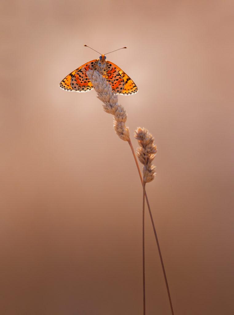 - 3ème Prix du public couleurs : photo N° 21 – « mélitée orangée » - Ferrière Pierre – Saclay Vision